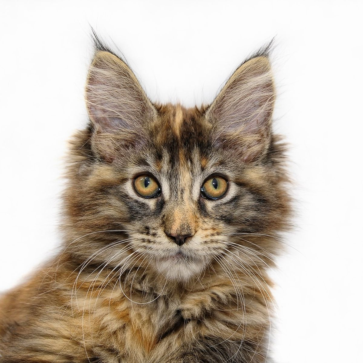 maine-coon-1723958_1920